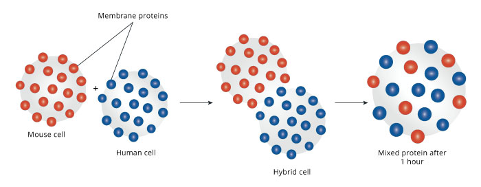 an overview of an experiment on the cell membrane permeability
